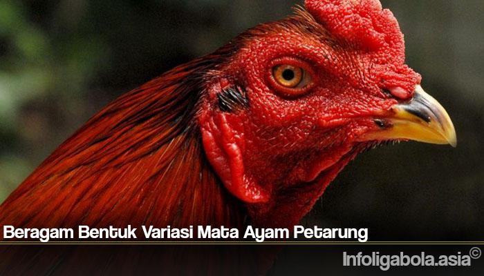 Beragam Bentuk Variasi Mata Ayam Petarung