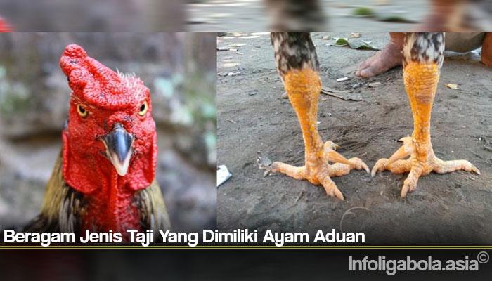Beragam Jenis Taji Yang Dimiliki Ayam Aduan