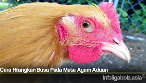 Cara Hilangkan Busa Pada Mata Ayam Aduan