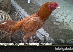 Tips Mengatasi Ayam Petarung Penakut